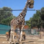 safari-park-mallorca-giraffe