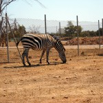 safari-zoo-mallorca-zebra